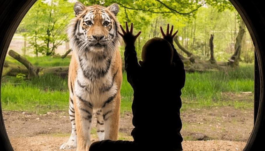 A child presses up against a glass viewing pane as a large Tiger looks at him from behind the glass.