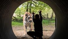 A child looks through glass tunnel and puts their hands up to a tiger