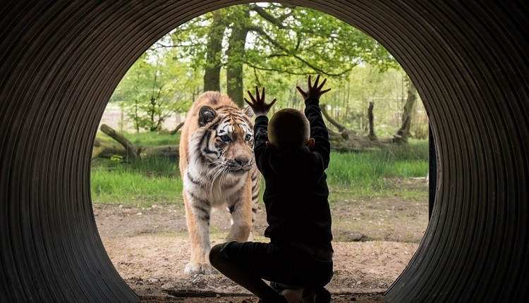 A child looks through glass and puts their hands up to a tiger